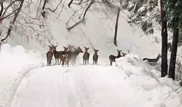 新郷村に出現したニホンジカの群れ=1月29日、スマートフォンで撮影(佐藤さん提供)