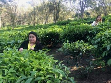 The tea garden tour programme will allow tourists to harvest tea leaves and roast them in a traditional way. Karnjana Karnjanatawe