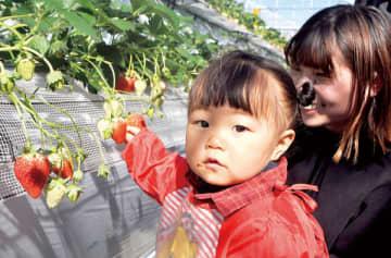 小さな子ども連れにも人気のイチゴ狩り=上里カンターレ