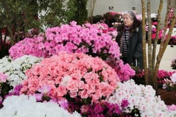 鮮やかな色の花が並ぶアザレア展=11日、新潟市秋葉区