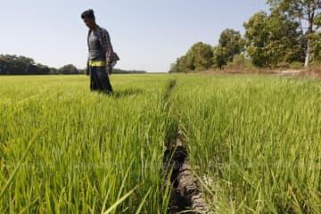 A farmer walks in a rice field in Nong Sua district of Pathum Thani on Jan 5, 2020. (Photo by Wichan Charoenkiatpakul)