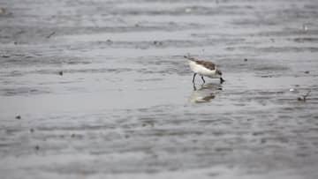 湛江市沿岸で絶滅危惧種のヘラシギ28羽を確認 広東省