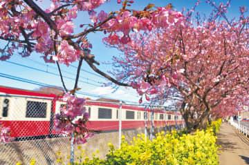 桜と菜の花が彩る線路沿いの並木道(今月10日撮影)