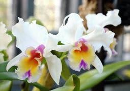 故高円宮さまが交配した「カトレア メモリア プリンス タカマド」=奇跡の星の植物館