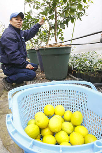 寒冷地では難しいとされてきたライムの収穫に、5年がかりでこぎつけた石岡浩明さん=山形市南栄町1丁目