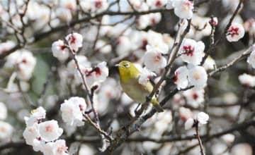 臥龍梅の白い花が咲いた枝に止まるメジロ