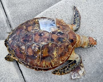 米軍キャンプ・シュワブ沖で見つかったカメの死骸=15日、名護市辺野古