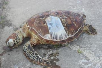 辺野古にウミガメ死骸 「船に衝突か」指摘も