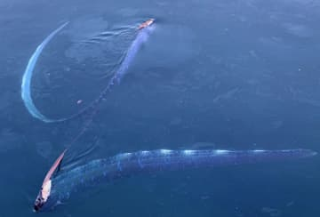 福井県越前町の漁港で見つかった2匹のリュウグウノツカイ=15日(田平浩司さん撮影・越前松島水族館提供)