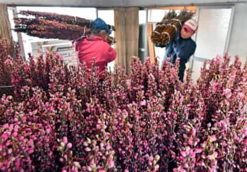 出荷の最盛期を迎えたハナモモの切り枝=18日午前10時20分、那珂川町小砂