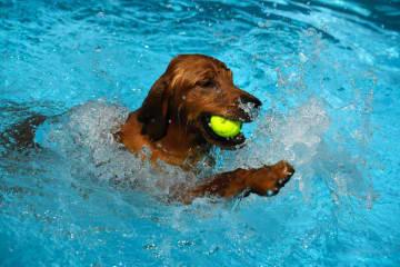 写真はテニスボールをくわえる犬