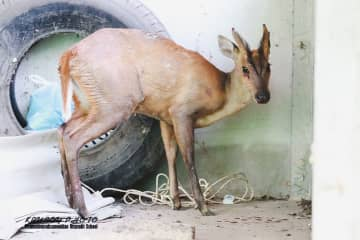 The barking deer believed to have fled a forest fire to a school in Uttaradit on Wednesday. (Photo supplied by Boonnam Kerdkaew)
