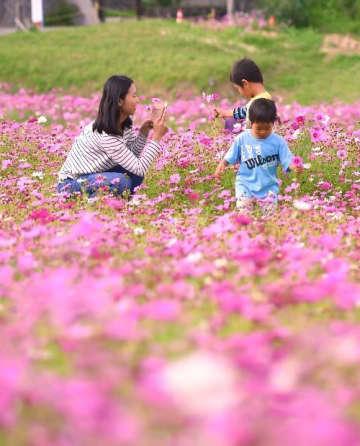 沖縄では今、コスモスが満開です! 「インスタを見て来た」 金武町伊芸の田んぼ