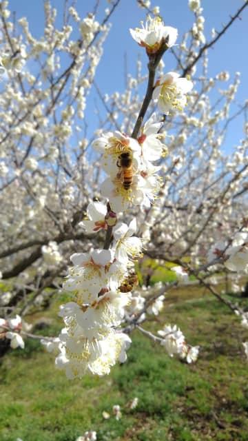坂田城跡の梅林が見頃 2月22日、花見イベント開幕 横芝光