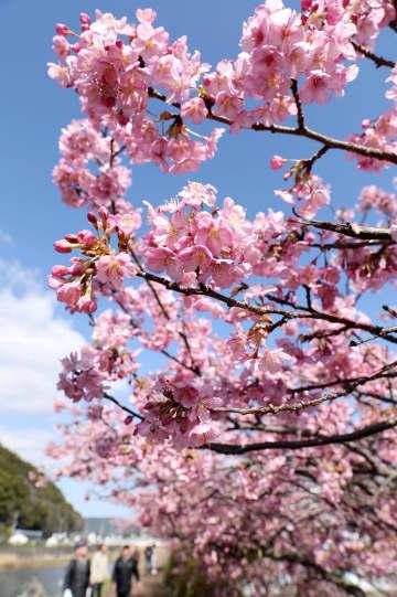 ほぼ満開となり、青空に映える河津桜=長崎県北松佐々町本田原免