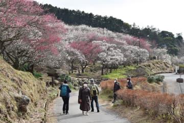 春の訪れ、香りで実感 湯河原梅林が見頃
