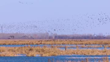 衡水湖に数万羽の渡り鳥 河北省