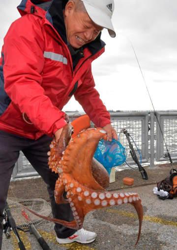 釣り上げたばかりのマダコを袋に入れようとして苦戦する釣り客の男性=1月31日、本牧海づり施設