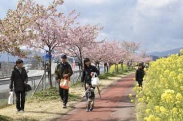 満開の桜と菜の花が行楽客の目を楽しませる「延岡花物語このはなウォーク」