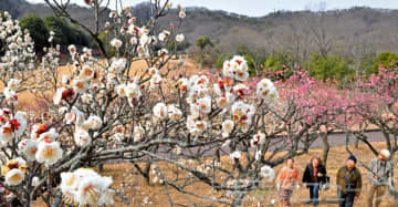 紅白の梅 春の香り 桐生市南公園で645本が見頃
