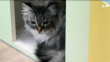 プーチン大統領から佐竹知事に贈られたシベリア猫「ミール」