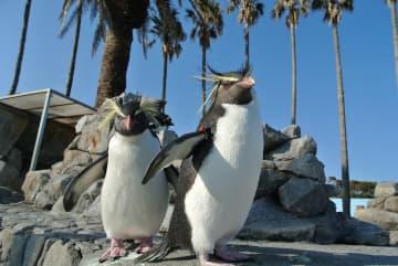 新たに購入が予定されている「キタイワトビペンギン」(長崎市提供)