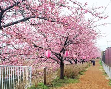 【南足柄桜めぐり・5か所一挙ご紹介】河津桜や春めき桜、ここでしか見られない大雄紅桜など!