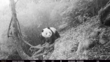 四川省唐家河自然保護区で野生のパンダ撮影、同一地点で4回