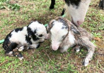 生まれたばかりの双子の雄ヤギ=2月20日、大宜味・辺土名高校(提供)