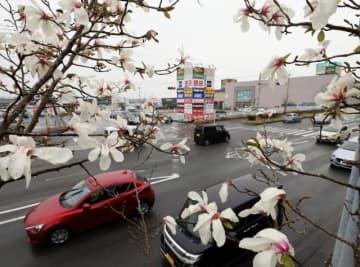 白い6弁の花を付けたコブシ=7日午後、宮崎市源藤町