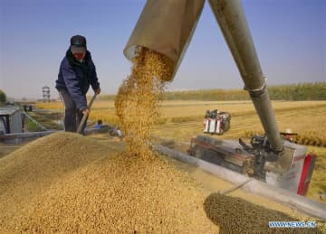 A farmer harvests organic rice in Caofeidian district of Tangshan city, North China's Hebei province, Oct 30, 2019. [Photo/Xinhua]