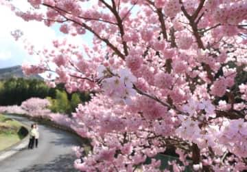 早咲き「春めき桜」 秦野で見頃
