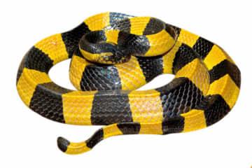 Banded Krait snake.