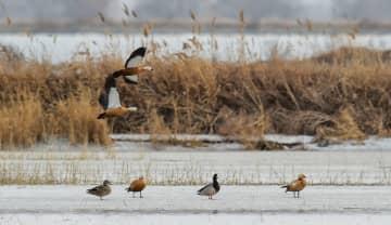 海流ダムに多くの渡り鳥 内モンゴル自治区フフホト市