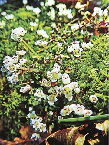 岩の隙間から伸び、群生して花を咲かすキイハナネコノメ(和歌山県紀南地方の山中で)