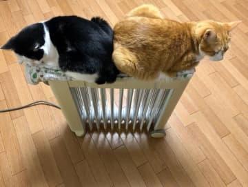 チワワ&ブルドッグ好きの夫婦が初めての猫飼い 「思った以上に可愛い」