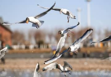 ユリカモメの群れが烏海湖に飛来 内モンゴル自治区