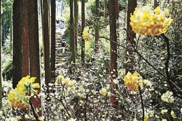 熊野古道沿いで、かわいらしい花を咲かせているミツマタ(20日、和歌山県新宮市熊野川町で)