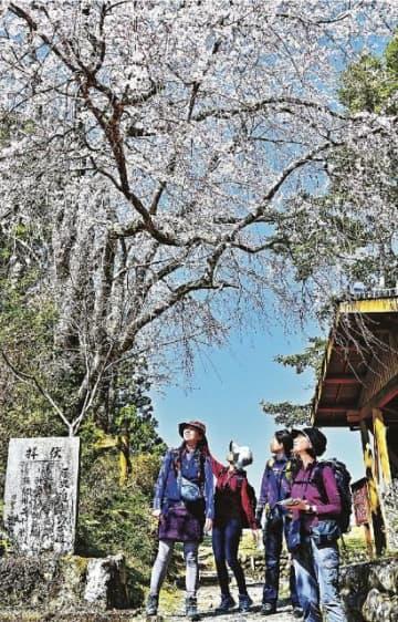 見頃を迎えた伏拝王子のシダレザクラをめでながら、熊野古道歩きを楽しむ観光客(21日、和歌山県田辺市本宮町伏拝で)