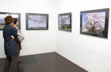 加治川の桜堤などを撮影した作品に足を止める来場者=新発田市大手町1