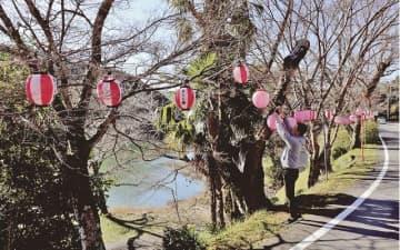 桜並木に設置されたちょうちん(和歌山県古座川町佐田で)