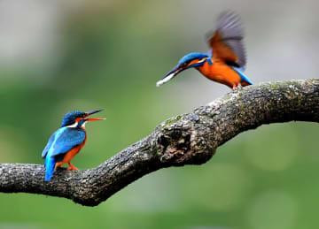 公園にカワセミの羽ばたき 福建省福州市