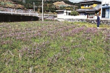 田で咲いているレンゲソウ(和歌山県印南町山口で)