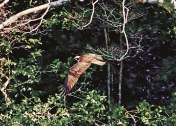 獲物を求め、殿山ダムの上空を飛ぶミサゴ(和歌山県田辺市合川で)
