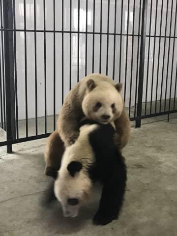 世界唯一の茶色パンダ「七仔」、初の自然交配成功