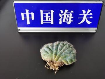 長沙郵便局税関、イタリアから郵送された絶滅危惧植物を押収
