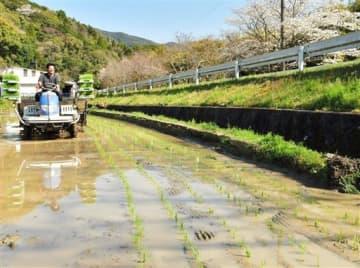 早期米の田植えが始まり、緑色の早苗の列をつくる倉田晋一さんの水田=25日午前、天草市河浦町