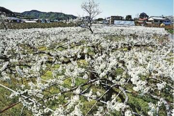 棚一面に広がったスモモの白い花(和歌山県田辺市下三栖で)