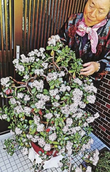 かわいらしい花を咲かせた金のなる木(25日、和歌山県田辺市秋津町で)