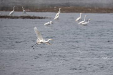 水鳥の群れが汾河に飛来 山西省太原市